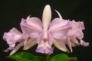 Cattleya Brazilian Star Soft Rock