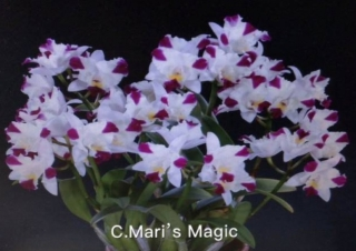 Cattleya Maries Magic