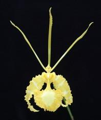 Psychopsis (Onc.)  papilio (yellow Form)