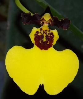 Oncidium Moon Shadow Tiger Tail