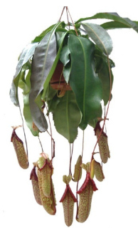Nepenthes ´Miranda´