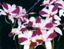Laeliocattleya Purple Cascade 'Fragrant Beauty'